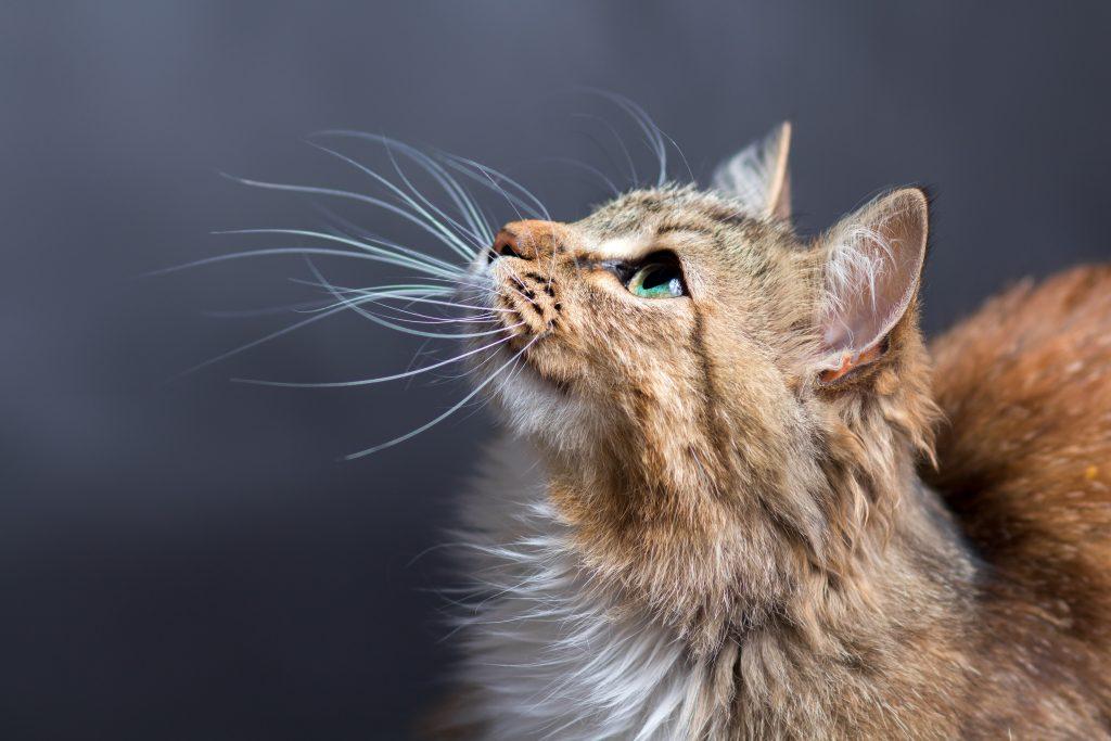 dental-cat-care