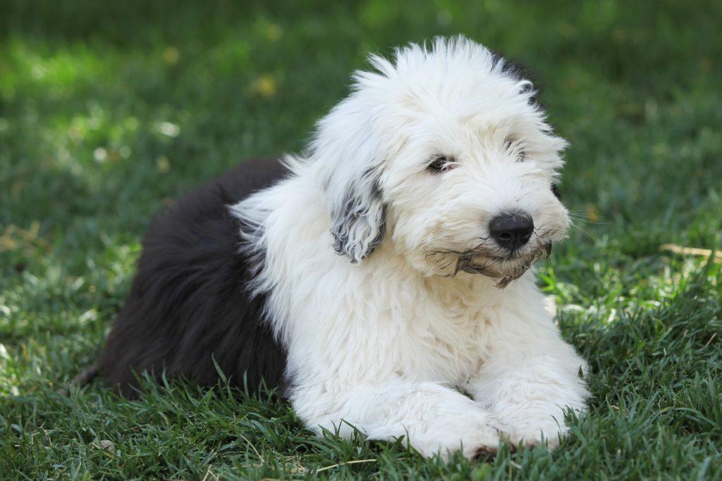 long or short hair dog